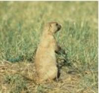 Spotlight image: Wildlife And Prairie Dog Management Public Engagement Opportunities