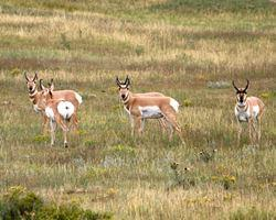 Spotlight image: Limited Pronghorn Hunt at Soapstone Prairie Natural Area