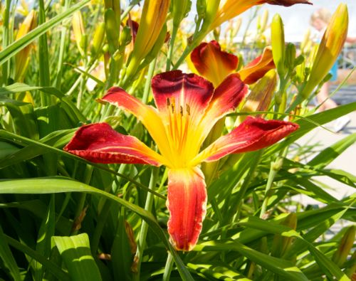 Daylilies in July.