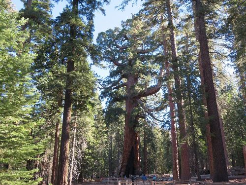 Giant Sequoia: The Amazing Story of the World's Largest Tree