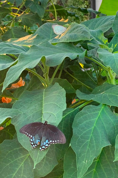 butterflies on plants