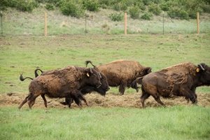 Bison: Shaping the Grassland Ecosystem