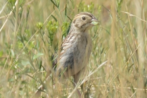 image for press release Rare Bird Discovered Breeding in Northern Colorado