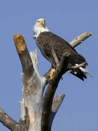 bald-eagle-usfws.jpg